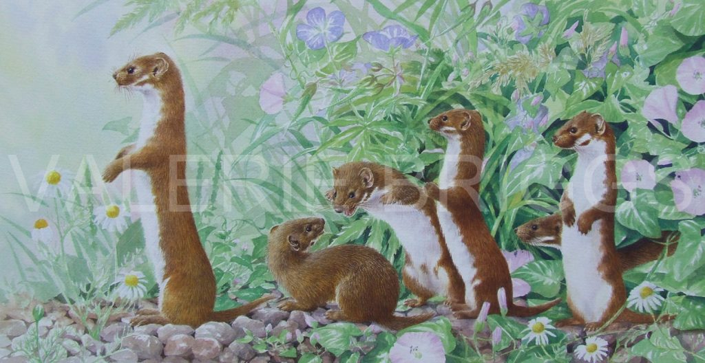 A Confusion of weasels by Valerie Briggs