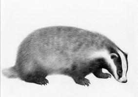 Badger - SOLD