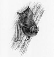 The Barbastelle Bat - SOLD