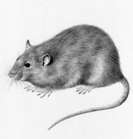 Brown Rat £50