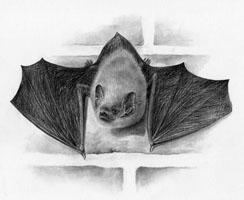 Common-Pipistrelle SOLD
