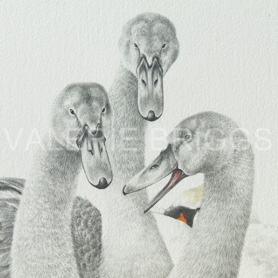 by Valerie Briggs -Cygnets no 4 UF Graphite and coloured pencils 33 x 33 cms