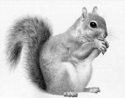 Grey Squirrel SOLD