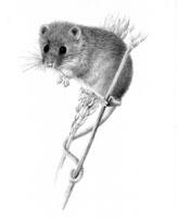 Harvest Mouse SOLD