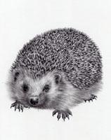 Hedgehog SOLD