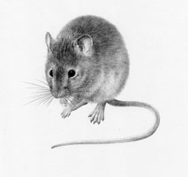 House Mouse £50