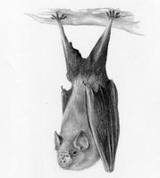 Lesser Horseshoe Bat SOLD