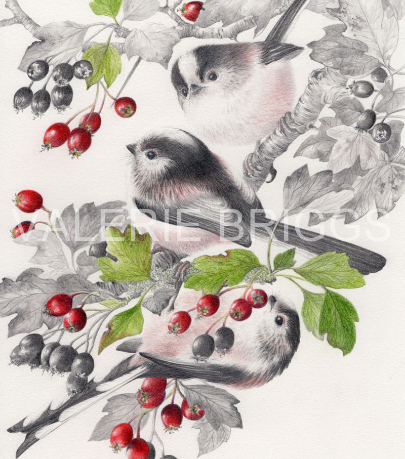 Long-Tailed-Tits-and-Hawthorn-Graphite-and-coloured-pencils-21-x-20-LARGE