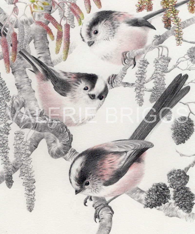 Long-tailed-tits-and-Alder-catkins by Valerie Briggs