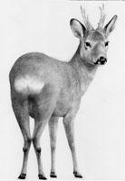Roe Deer £65