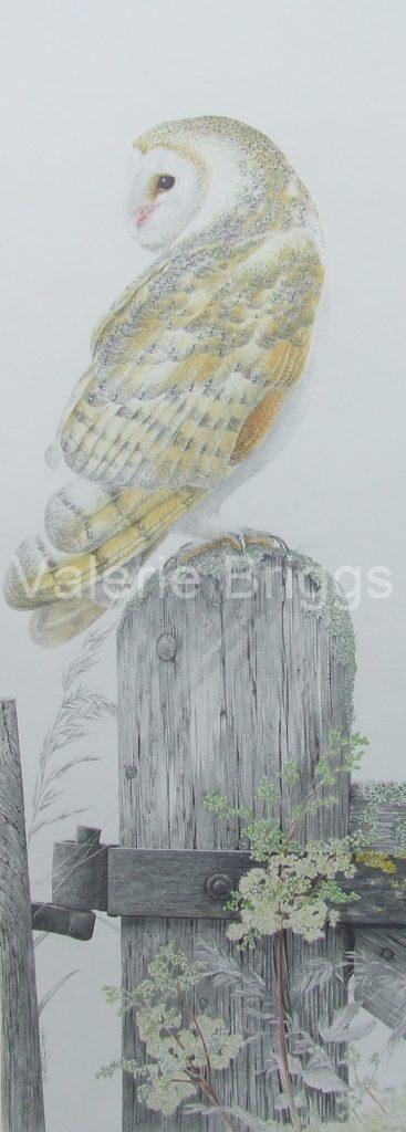 Tyto Alba Graphite and Coloured Pencil 74 x 25 cms