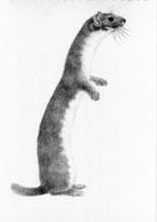 Worcester Mammals Atlas Exhibition - Weasel by Valerie Briggs