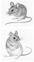 Wood Mouse and Yellow Necked Wood Mouse
