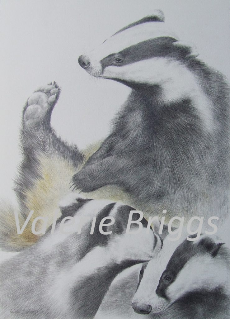 Badger Study Graphite and coloured pencils Image size 34 x 24 Badger Study Graphite and coloured pencils Image size 34 x 24