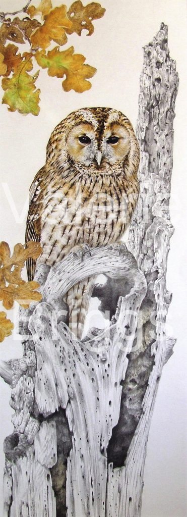 The Autumn Tawny Owl is for the gallery page please graphite and coloured pencils 74 x 25 cms